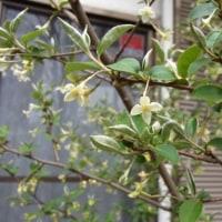 夏茱萸の花