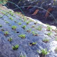 ホウレン草の発芽