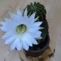 「親サボテンの花」が咲きました