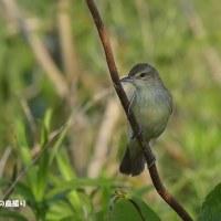 今日の野鳥・・・オオヨシキリ 【その1】・・・巣づくりを。。