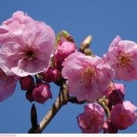 ヨウコウ(陽光) 桜