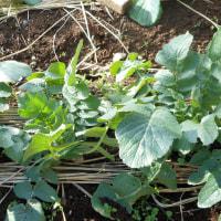 一月の野菜2