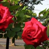 赤の大輪のバラ