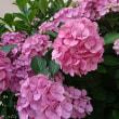 紫陽花は、アルカリ性なピンク色
