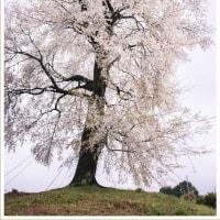 平家五大山桜 ~天保古山平家一本桜~