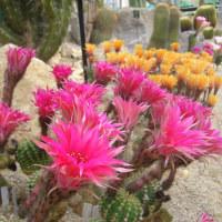 南アメリカに咲く花たち