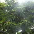 ∮大きな栗の木の下で。