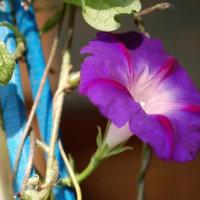 鉢植え朝顔の花