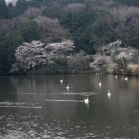 常陸の国の古徳沼でもようやく桜が満開になり残っていたオオハクチョウも飛去