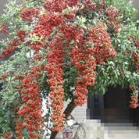 庭の木の実