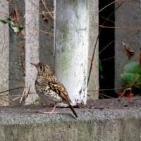 大阪城公園探鳥会 1月