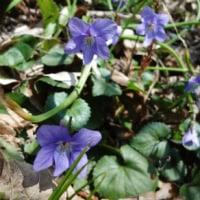 文殊山の春