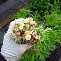 水菜、ホウレンソウ 穴あきマルチで間引きなし