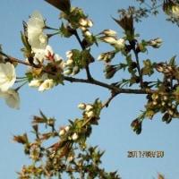 ウオーキングコースの公園の桜も開き始めました。