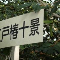 「世界の椿館・碁石」の椿・多福弁天(たふくべんてん) 2016年12月21日(水)