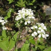 <コンロンソウ(崑崙草)> 名前は白い花を崑崙山脈の雪にたとえ(?)