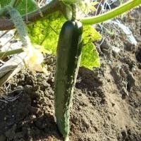 菜園は実の成る野菜で賑やかに