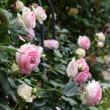 ピエール・ド・ロンサール(バラ)が咲き始めました。