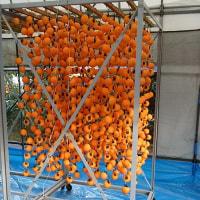 柿剥きが始まる