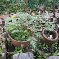 (3/22)木蓮、雪柳、黄水仙、福寿草、空豆、ハナカイドウ、黄梅