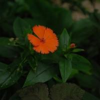 6月 庭に咲いた山野草