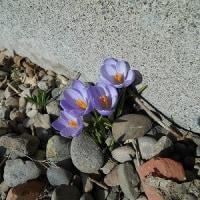 「春」とは言え 冬と春との鬩ぎ合い 心折れそうに寒い…