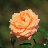 秋バラ その12