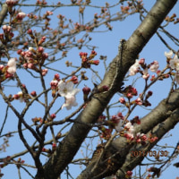桜が咲きました。