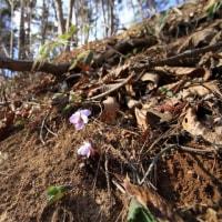 未だ咲かず 甲府市北部林道のスミレ  平成29年4月23日