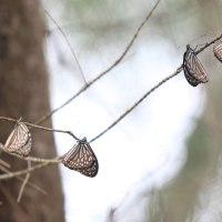 リュウキュウアサギマダラの越冬