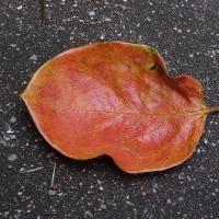 柿の葉茶の思い出