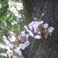 桜の風景2017