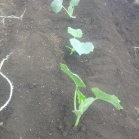 耕運機は未だ直ってこない~ きゅうりの植え付けとジャガイモの剪定