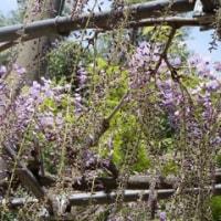 曼陀羅寺へ藤の花を見に行ってきた。