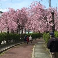 喜多方市日中線跡桜並木