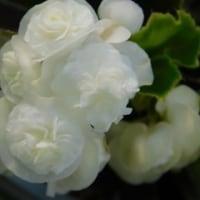 ダイアンサス ダイアナ & 八重のベゴニア ダブレット & ストロベリーフィールド