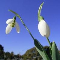 季節の花「スノードロップ」