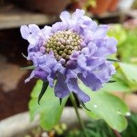 キョウカノコとホタルブクロ他の花々