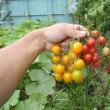 ミニトマトの収穫は手間がかかるので・・・