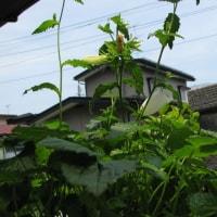 ネペンテス栽培記 390 ホタルブクロのすゝめ 画像大量