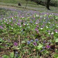 ニセコ桜ヶ丘公園 (4月24日)