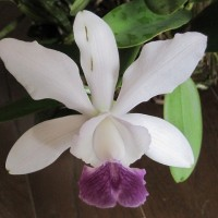 C.Walkerinter coerulea