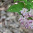 空木の美人三姉妹、梅花、更紗、桜も咲きました