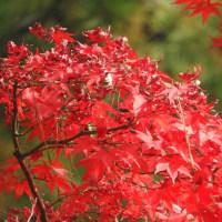 デジブック 『縮景園の紅葉』