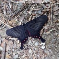 赤目48滝を訪ねて その②  ~赤目で見た植物・蝶々~
