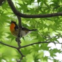 キビタキお父さん シジュウカラ幼鳥