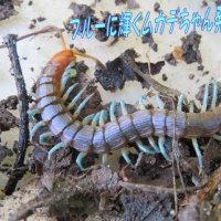 青いムカデちゃん(コバルトブルーの輝く美脚)見つけました~・・毒性はやはり強いようで~・・&魚屋さんの焼き魚