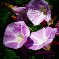 『浜昼顔』 昼の雨