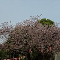 「桜」/上野公園(2017春)