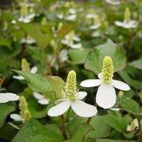 季節の花「毒痛み (どくだみ)」